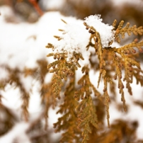 Plants in Snow I
