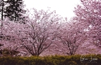 High Park Cherry Blossoms on May 11th, 2018. XI
